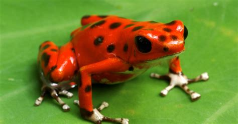 Poison dart frog inspires new way to deice planes - CBS News