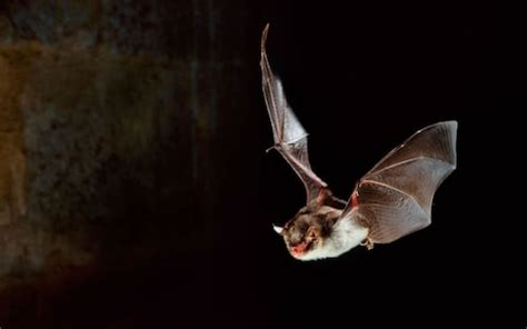 How to attract bats to your garden   The Telegraph