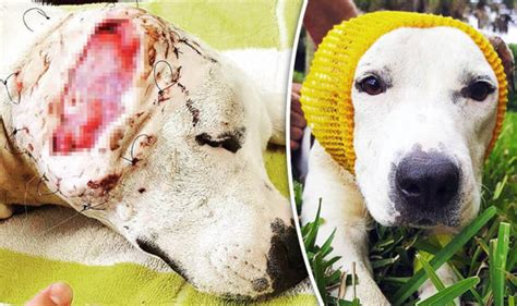 GRAPHIC CONTENT: Dog used in illegal dog fights left with