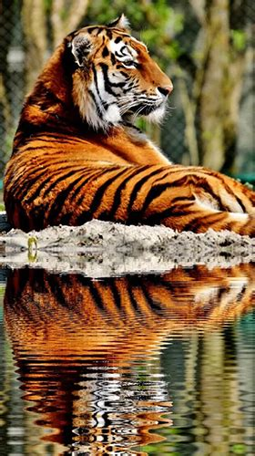 Tigers by Live Wallpaper HD 3D für Android kostenlos