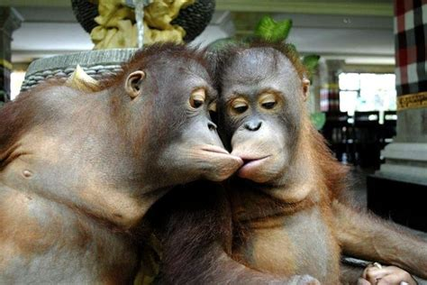 funny-picture-two-monkeys-kissing (With images