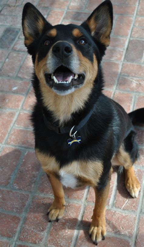 1000+ images about German Shepherd Mix on Pinterest | Chow
